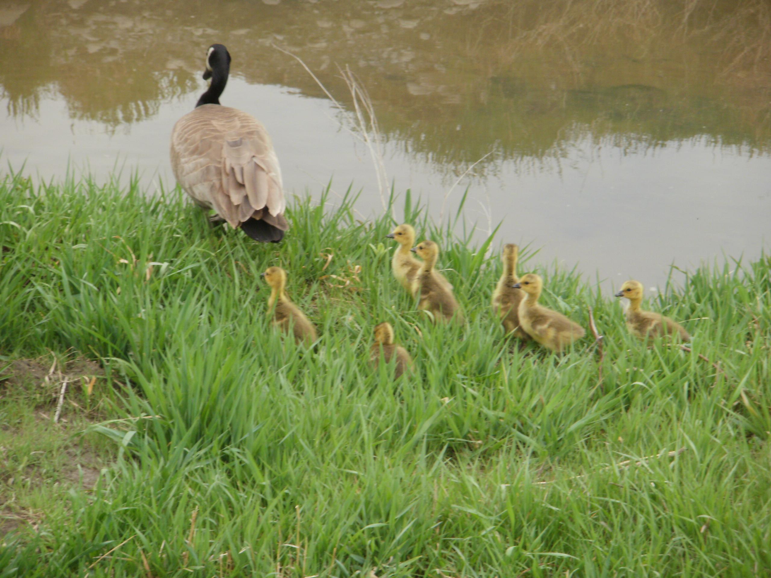 baby geese from ospreynest 002 (2).jpg